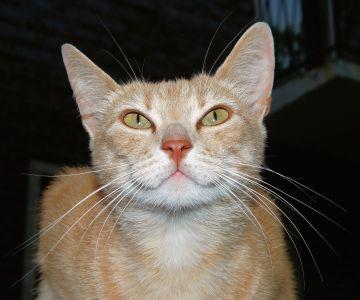 Cat, roztomilý, portrét, oko, pet, kožešiny, zvíře, kotě, mladé