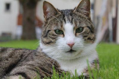 animali, carino, pet, gatto, ritratto, pelliccia, erba, feline, gattino, gattino