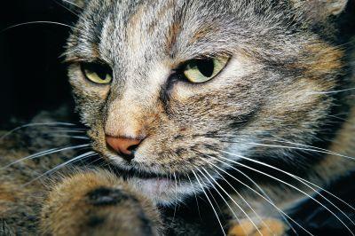 Katze, Tier, Porträt, niedlich, pet, Augen, Fell, Kätzchen, Katze