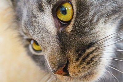 cat, eye, portrait, macro, adorable, animal, fur, pet, nature, kitten