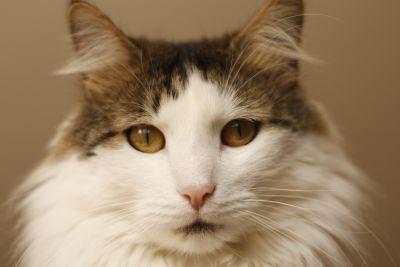 macska, szem, aranyos, portré, cica, macska, kisállat, cica, szőrme