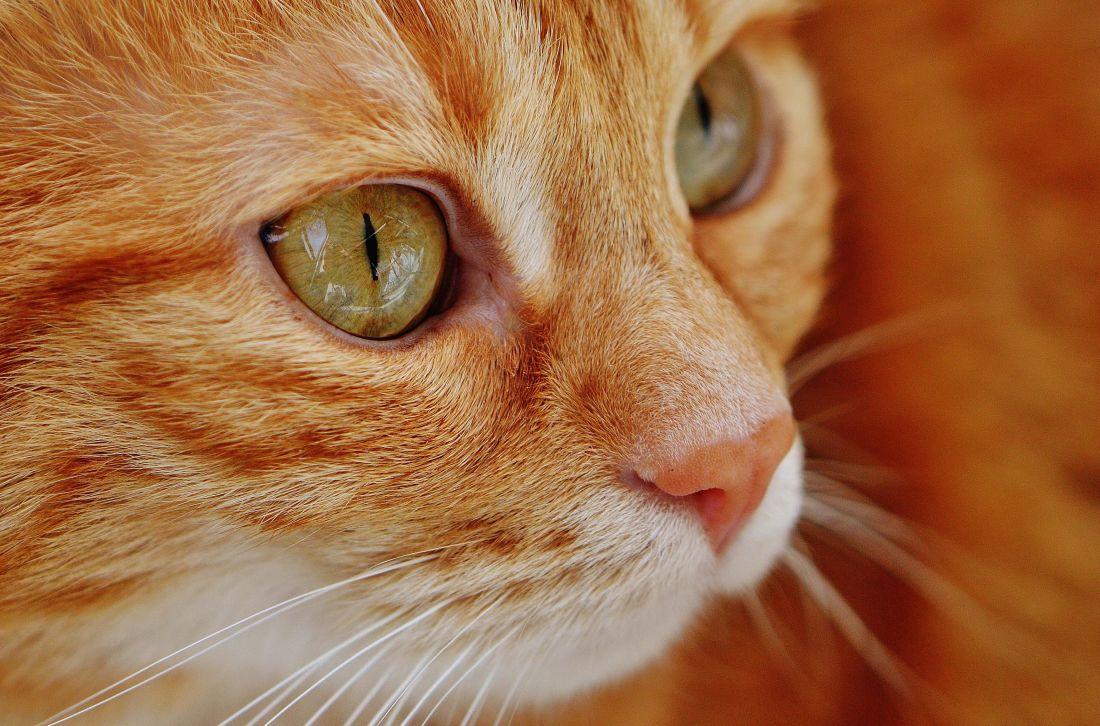 кішка мила, ПЕТ, портрет очей, тварина, кошеня, хутро, котячих