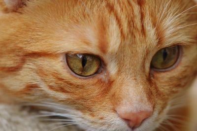 cat, eye, cute, portrait, pet, animal, fur, young, feline