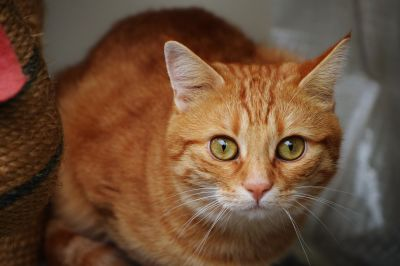 kočka, portrét, roztomilý, kotě, Kočkovitý, kitty, pet, kožešiny, oči