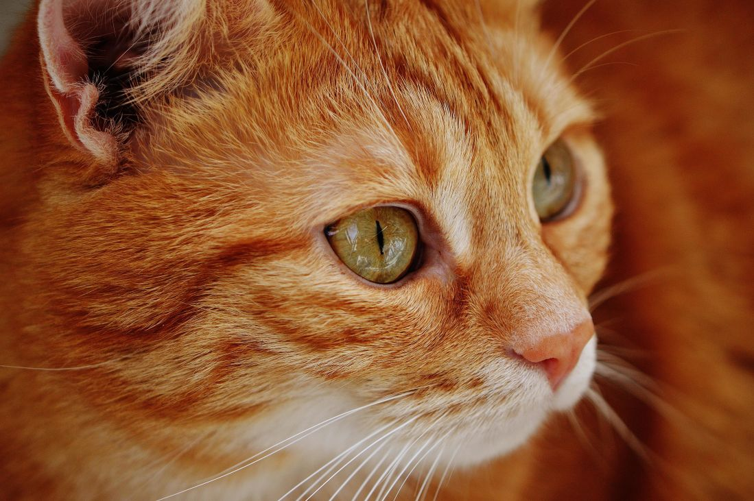 chat, mignon, animal, portrait, pet, oeil, félin, kitty, chaton