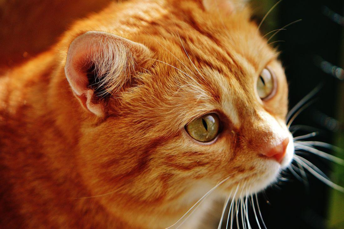 cat, cute, portrait, animal, eye, feline, pet, kitten, kitty