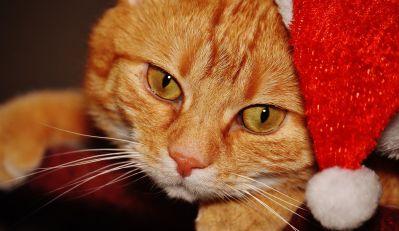 cute, portrait, cat, fur, eye, pet, feline, hat, kitty, kitten
