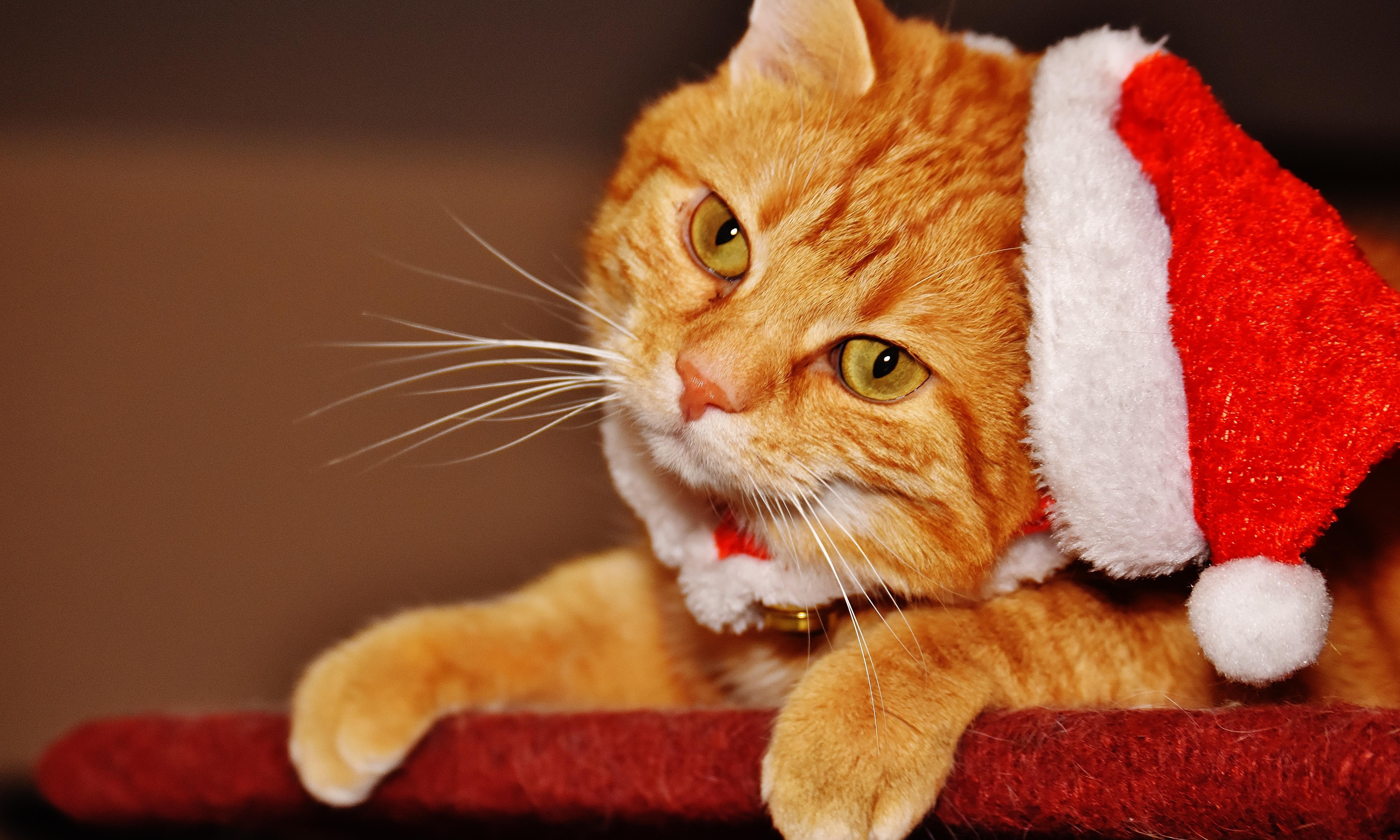Free picture cute cat fur portrait interior funny