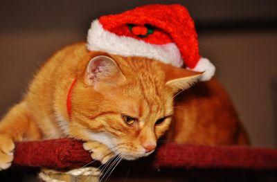 Kot domowy, kapelusz, ozdoba, pet, wnętrze, portret