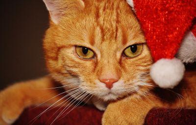 carine, pelliccia, ritratto, felino, gatto, decorazione, gattino, gattino, animali, baffi