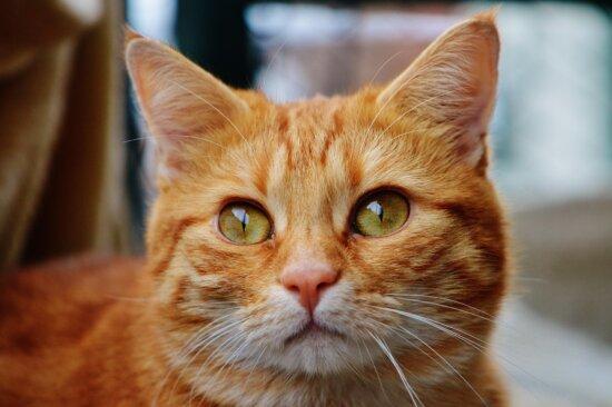 gato, animal doméstico, retrato, lindo, animal, felino, gato, kitty
