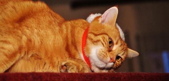 gato, retrato de mascotas, lindo, animal, piel, gatito, felino