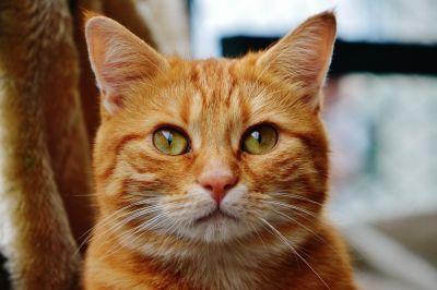 Cat, roztomilý, portrét, zvířat, pet, hlava, čiči, kotě, kočkovitá šelma