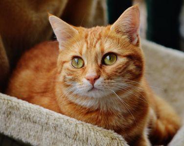 cat, cute, portrait, pet, animal, fur, kitten, eye, whisker