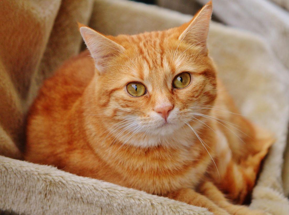 roztomilý, cat, portrét, zvířat, pet, kožešiny, čiči, kočkovitá šelma