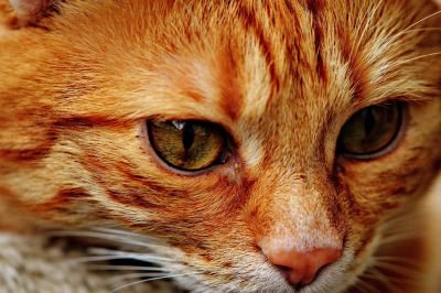 cat, eye, cute, portrait, head, animal, fur, pet, feline, kitty