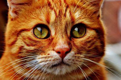 cat, portrait, animal, pet, cute, eye, head, fur, feline