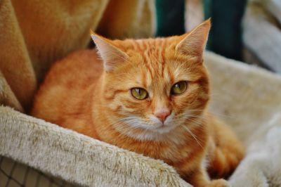 gatto domestico, interior, pelliccia, gatto, animali, pet, ritratto, occhio, giovane, gattino