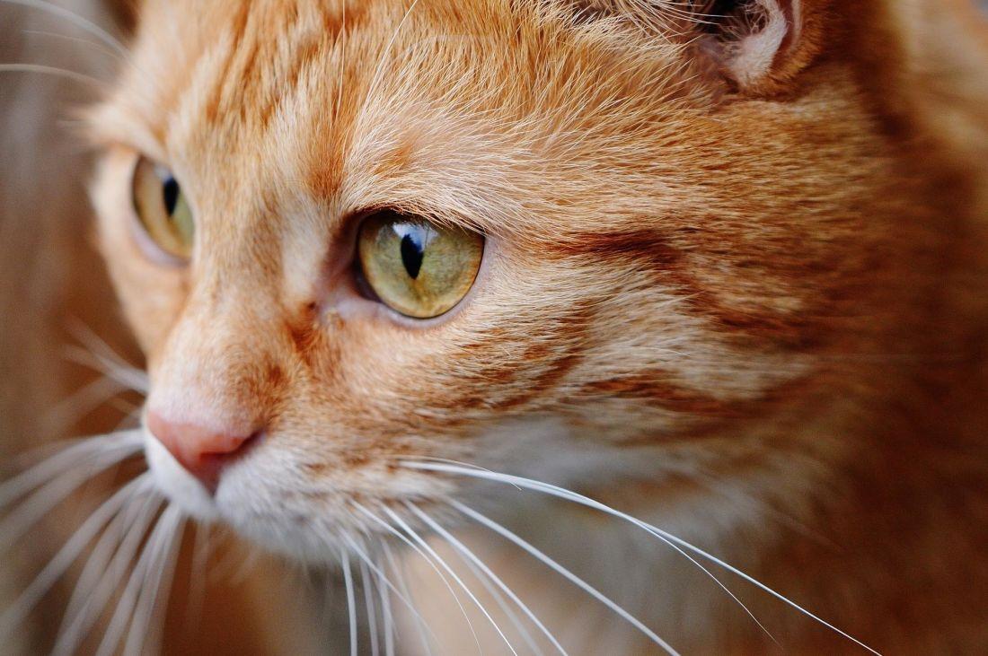 kucing, hewan, potret, mata, lucu, kepala, bulu, hewan peliharaan, kucing, kucing