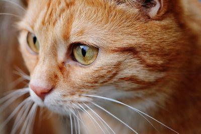 котка, животински, портрет, око, сладък, главата, кожа, pet, Кити, котешки
