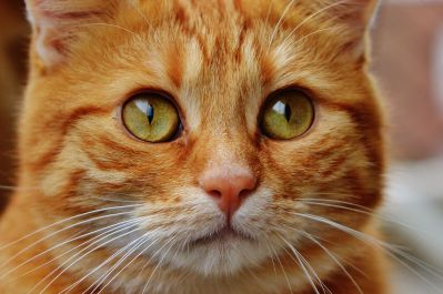 Cat, roztomilý, pet, zvíře, hlava, kočka domácí, portrét, srsti, očí