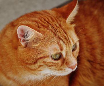 cat, cute, animal, portrait, pet, eye, feline, kitty, head, domestic cat