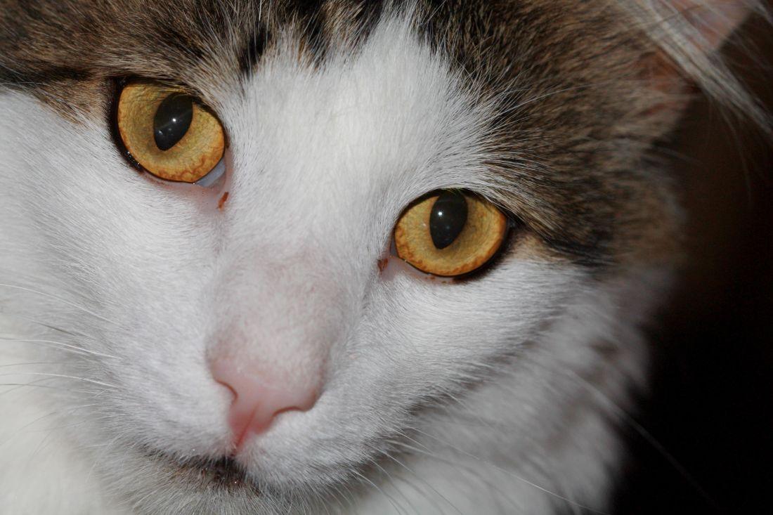 image libre chat yeux mignon animal de compagnie portrait t te chaton fourrure animal. Black Bedroom Furniture Sets. Home Design Ideas