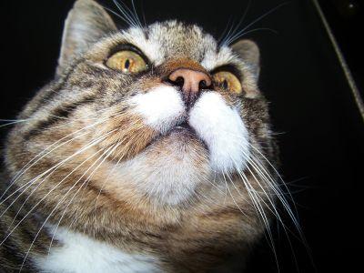 Kot, pet, kot, zwierząt, portret, Ładna, futro