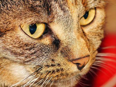 Kot, oko, Ładna, portret, zwierzę, futro, kotek, pet, wąsy