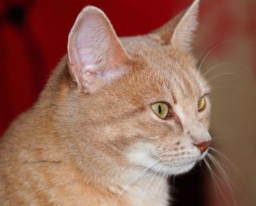 кішка мила, очі, хутро, портрет, тварина, ПЕТ, ниткоподібні