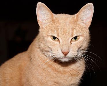 Cat, søt, øye, portrett, pels, dyr, kjæledyr, hodet, mørk, unge, feline