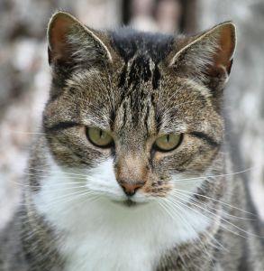søt, katten, pels, dyr, øye, bakkenbarter, kattunge, pet, natur