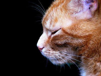 gato, retrato, animal, Linda, mascotas, ojos, gatito, felino