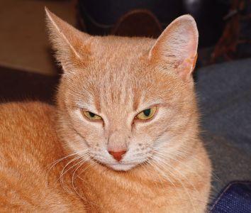 lindo, gato, ojos, animal, mascota, retrato, piel, gatito joven, amarillo, curioso,