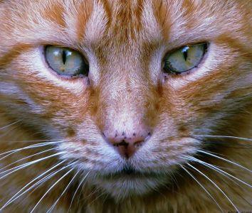 cat, eye, cute, animal, fur, pet, kitten, portrait, whisker