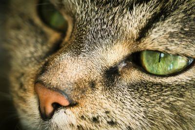 yeux, chat, animal, fourrure, portrait, nature, faune