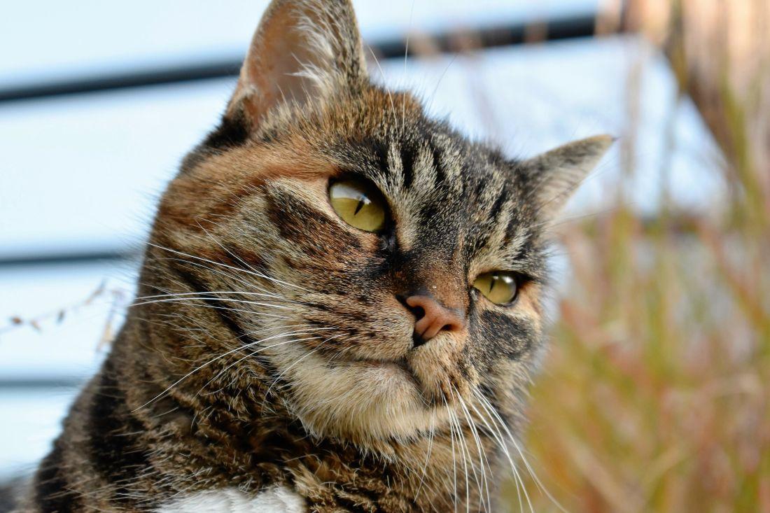 cat, cute, pet, animal, feline, kitten, kitty, fur, whiskers