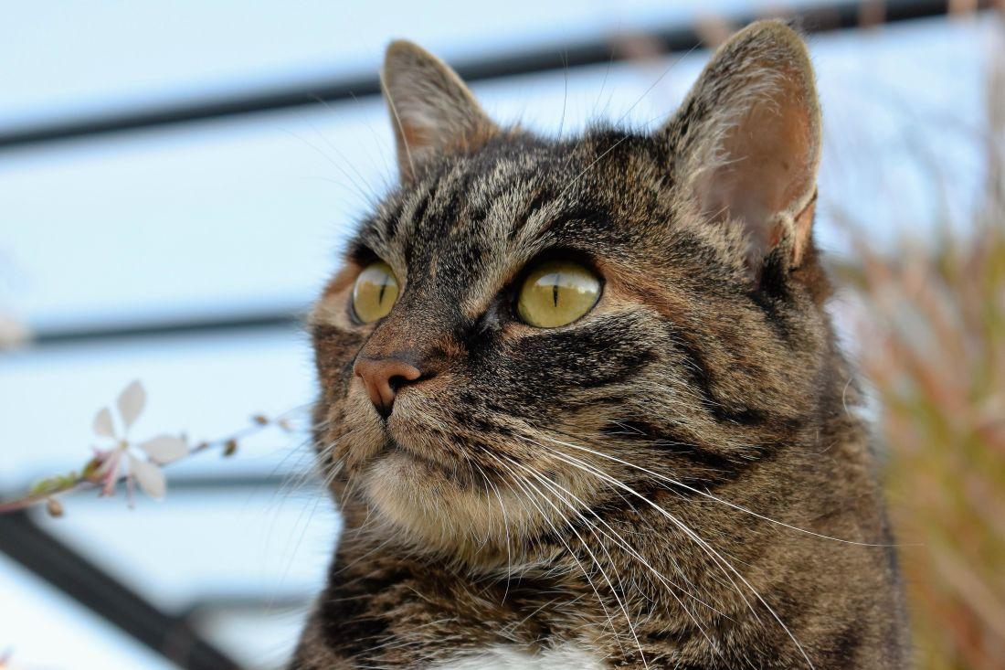 cat, animal, cute, portrait, pet, fur, gray, head, domestic cat, feline, kitten