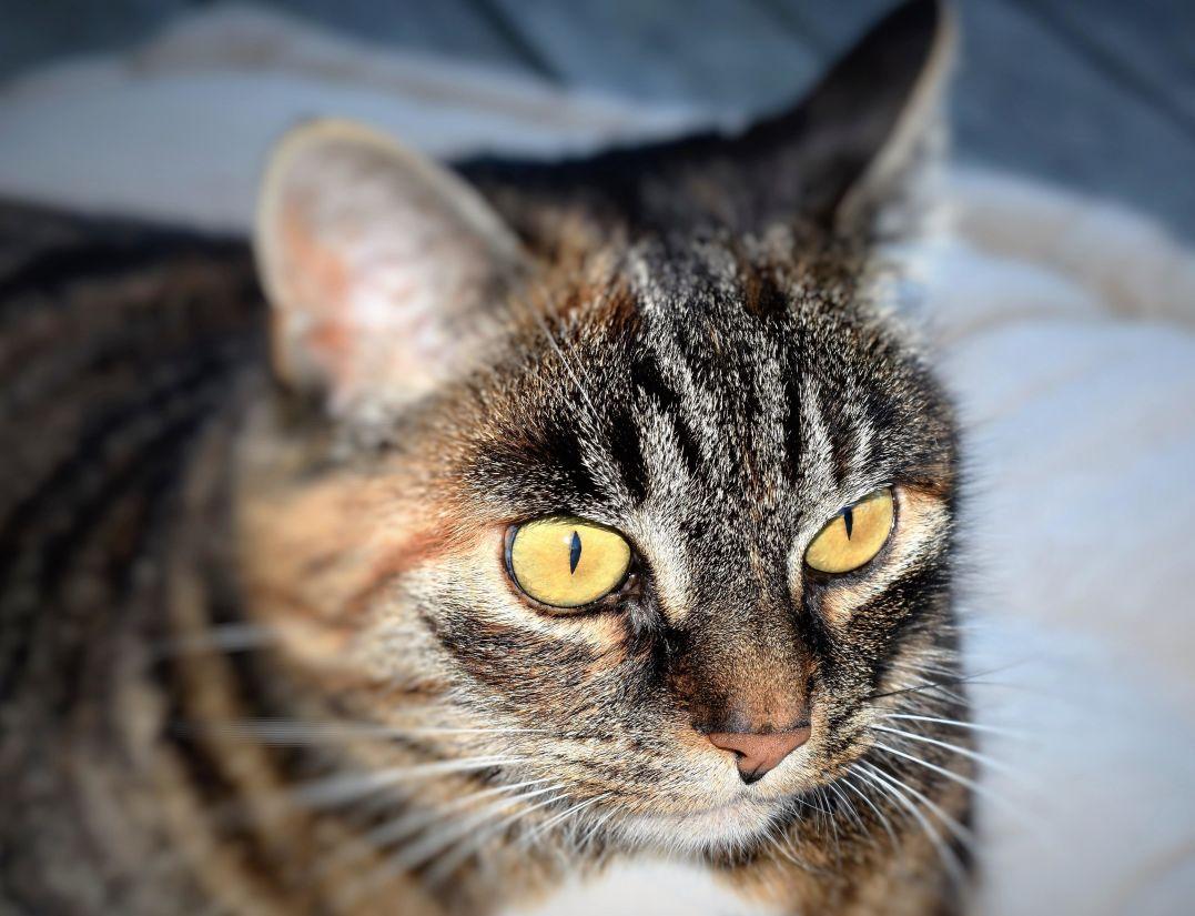 Katze, niedlich, Fell, Tier, Haustier, Kätzchen, Auge, grau, Porträt, whisker