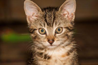 cinzento, gato, retrato do animal de estimação, animal, fofo, gatinho, felino, peles