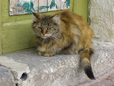doormat, persian cat, cat, animal, portrait, pet, feline, kitten, fur, kitty