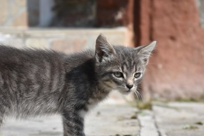 gray cat, urban, street, animal, cute, fur, pet