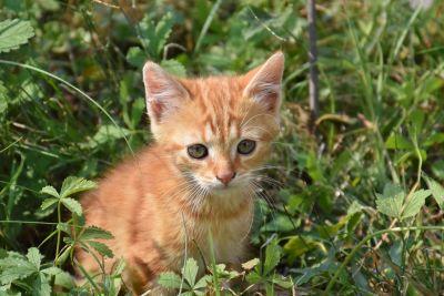 naturaleza, animal, lindo, amarillo cat, hierba, gatito