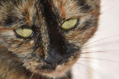szürke macska, kisállat, fej, állat, portré, szem, aranyos, szőrme, cica