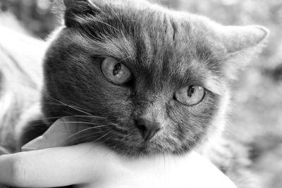 monochromatický, šedá kočka, roztomilý, portrét, pet, zvíře, oko, kočičko, kožešiny