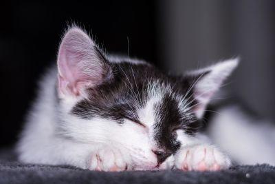 cat, pet, animal, kitten, portrait, cute, feline, sleep, kitty