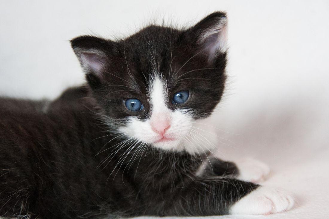 gatto, carino, gattino, gatto, gattino, animali, felino, pelliccia, pet, giovane