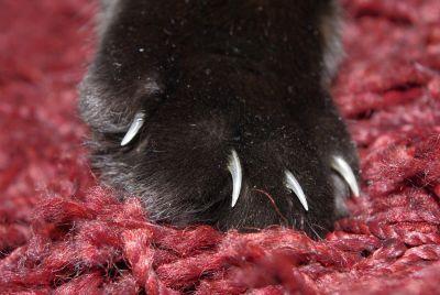 piel, pata, garra, gato negro