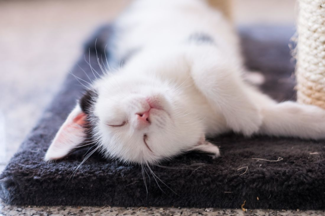 cute, cat, pet, sleep, domestic cat