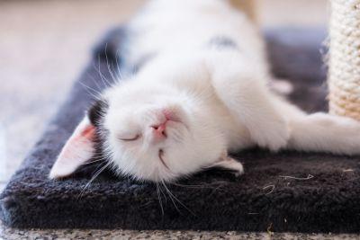lindo, animal, dormir, gato, gato doméstico